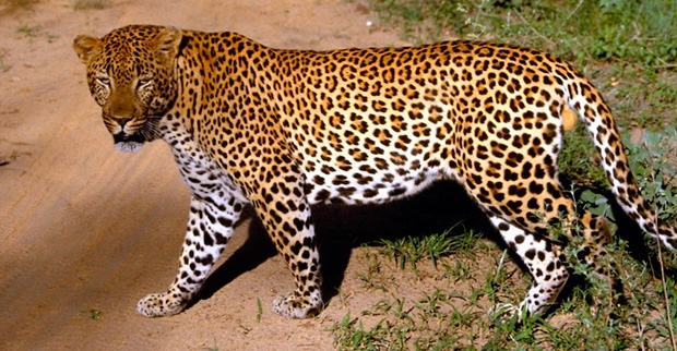the jaguar project :: jaguar corridor conservation in costa rica